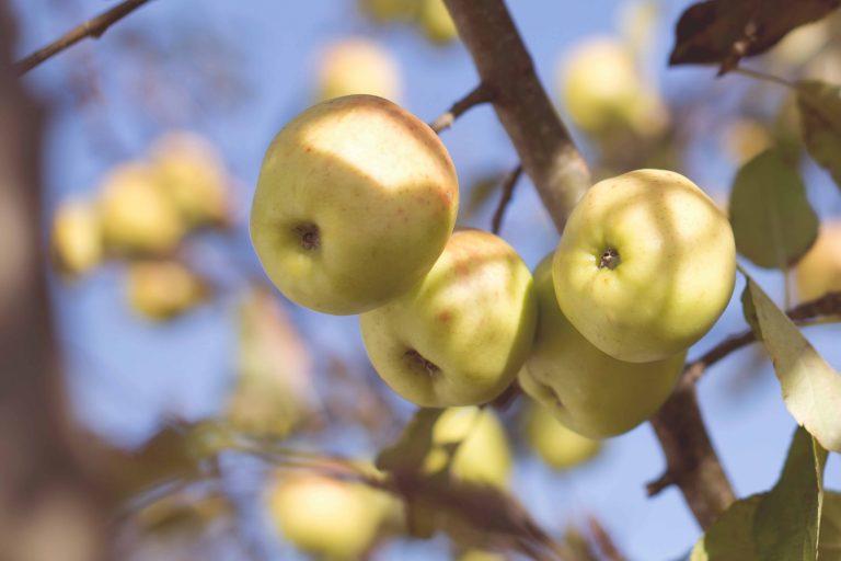 Äpfel auf dem Baum
