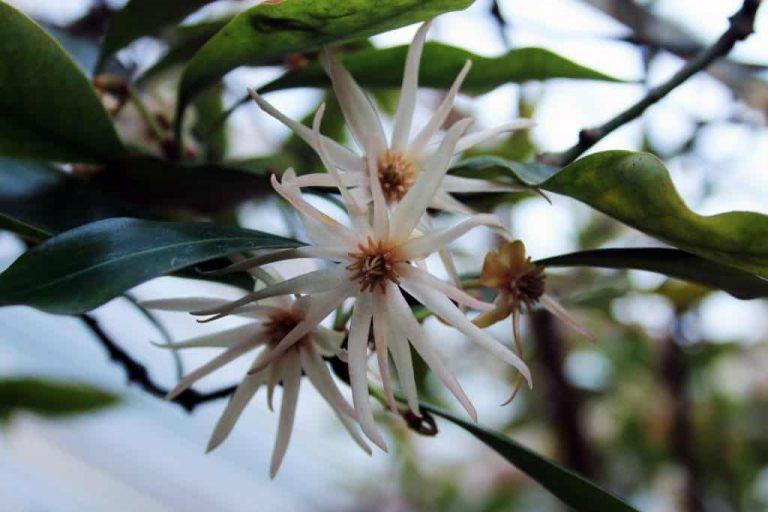 Anisblüte an Baum