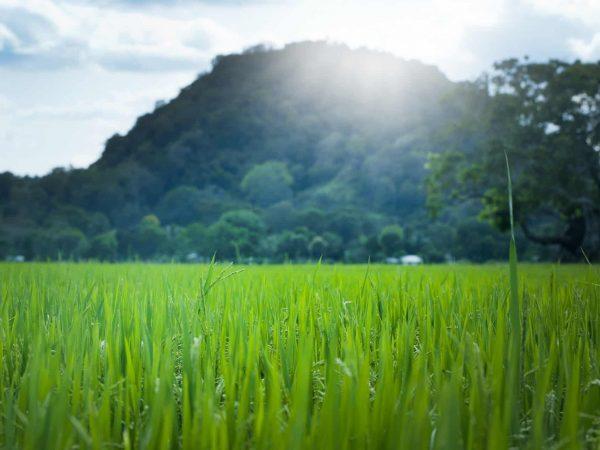Asiatisches Weizenfeld